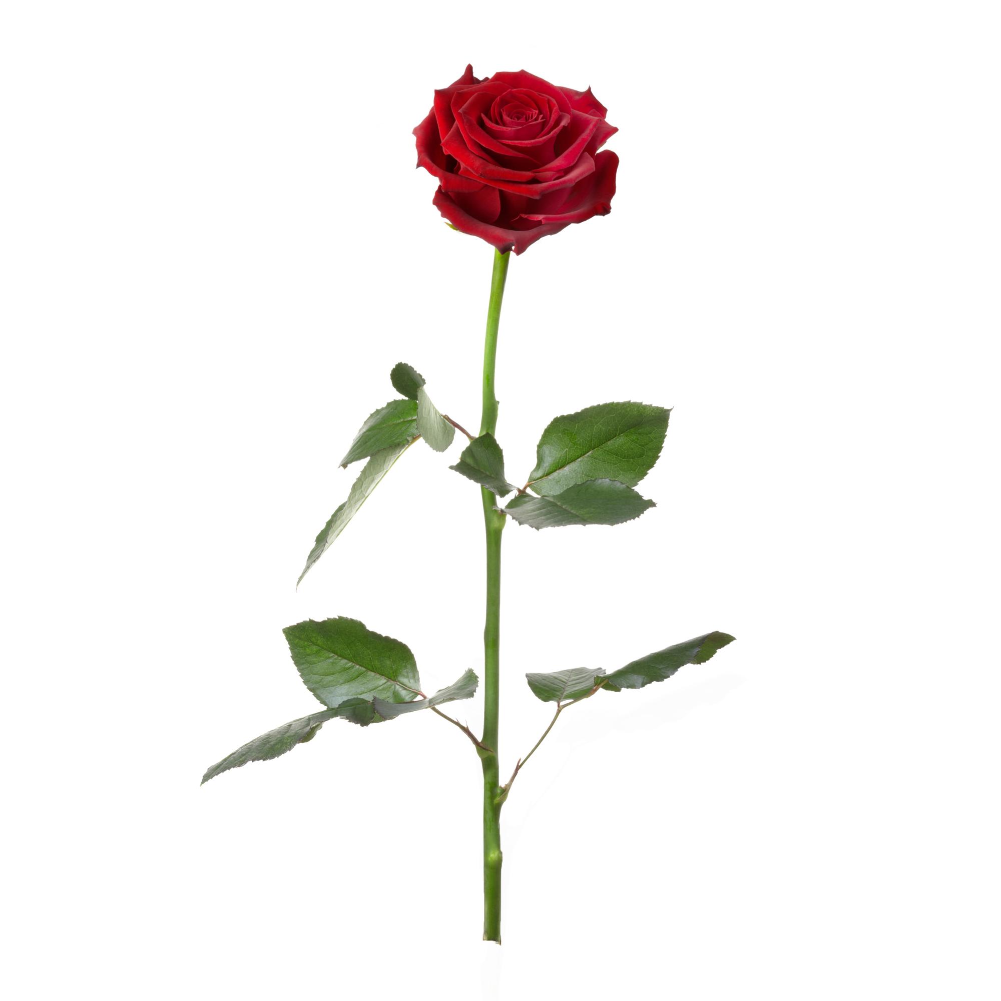 Unvergängliche Rose - Geschenkidee Valentinstag